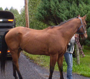 My first horse the day I picked him up. 26 years old.